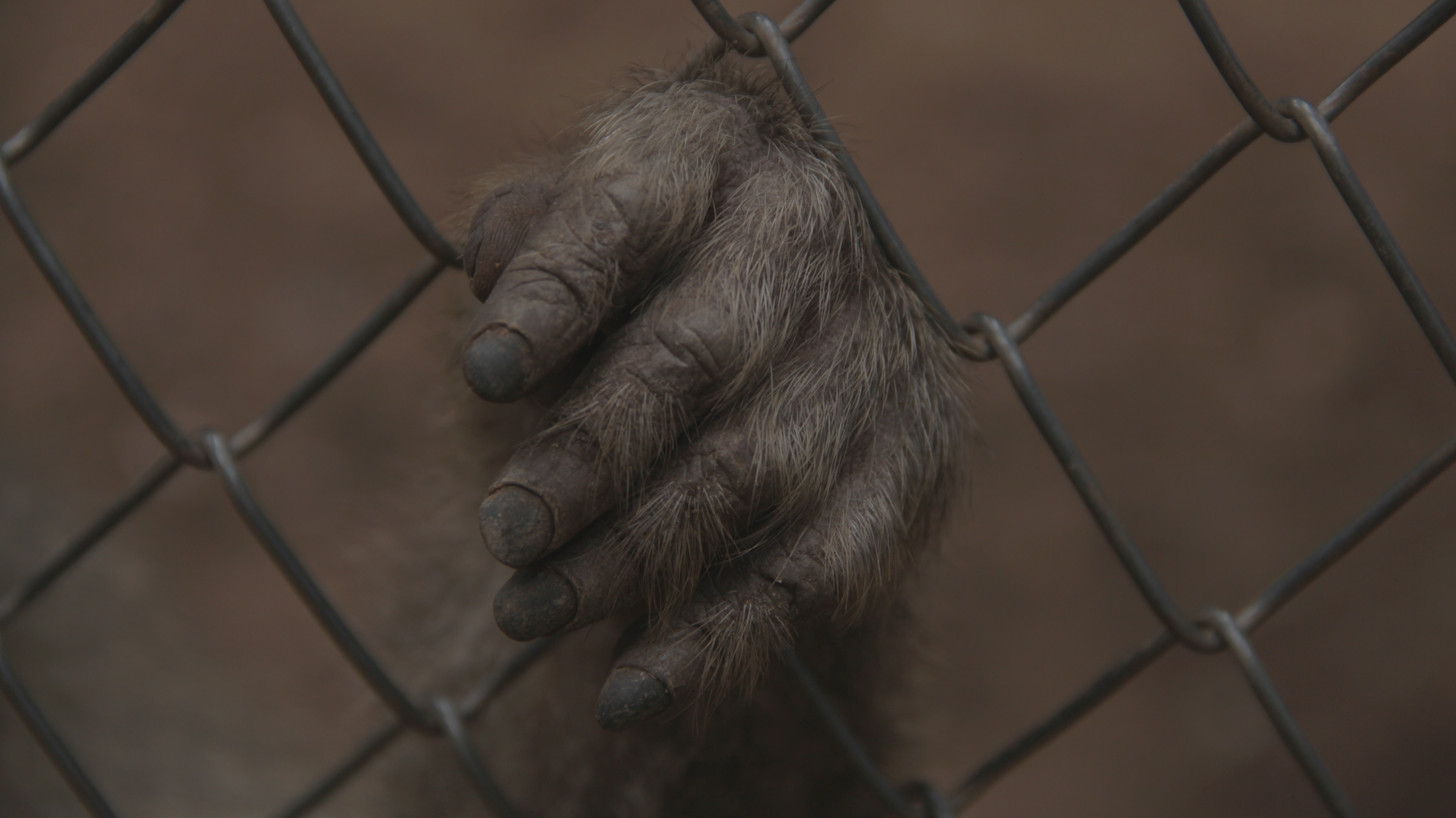 Ape hand holding a wire cage